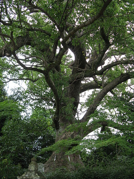 Camphor tree in Osaka prefecture, Japan