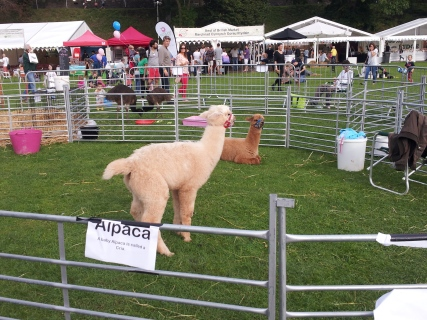 Right after I took this picture, baby alpaca dropped a load.