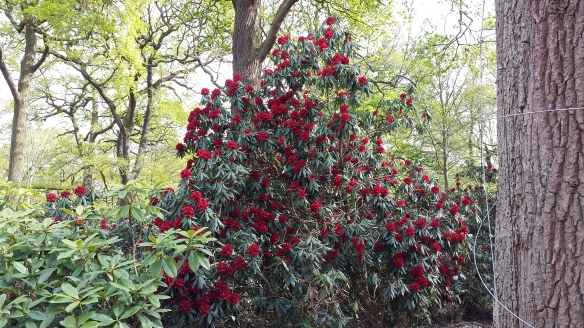 Rhododendrons red Isabella