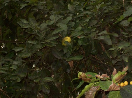 Danger, Will Robinson!  Rogue lemons in Biome Three!
